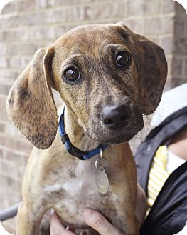 Terrier (Unknown Type, Small)/Hound (Unknown Type) Mix Puppy for adoption in Chattanooga, Tennessee - Pikelet