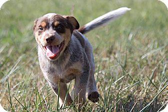 Australian Shepherd Mix Puppy for adoption in Broken Arrow, Oklahoma - Squiggy