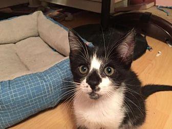 Domestic Longhair Kitten for adoption in Boca Raton, Florida - Indigo