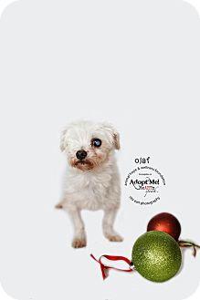 Maltese Mix Dog for adoption in Sherman Oaks, California - Olaf