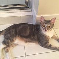 Adopt A Pet :: Mittens - Miramar, FL