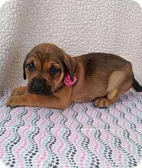 Boxer/Labrador Retriever Mix Puppy for adoption in Elkton, Maryland - Natasha