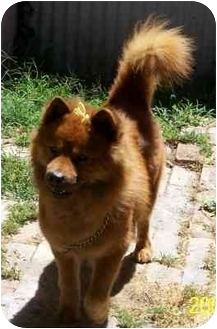 Chow Chow Mix Dog for adoption in Harbor City, California - Blaze