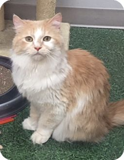 Domestic Longhair Cat for adoption in Homewood, Illinois - Gino