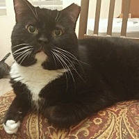 Domestic Mediumhair Cat for adoption in Chandler, Arizona - Pumba