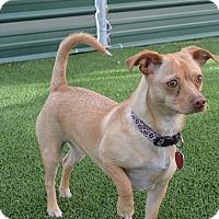 Adopt A Pet :: Petals - Meridian, ID