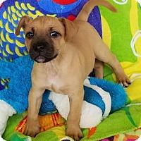 Standard Schnauzer Puppy for adoption in Scottsboro, Alabama - Charlie