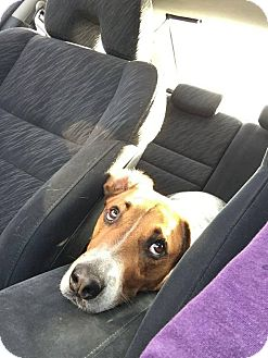 Foxhound/Beagle Mix Dog for adoption in Cambridge, Ontario - Charlie