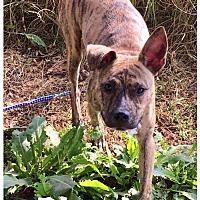 Adopt A Pet :: Phoebe - Hartwell, GA