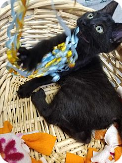 Domestic Shorthair Kitten for adoption in China, Michigan - Liberty