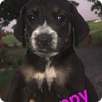 Adopt A Pet :: Poppy - Lexington, NC