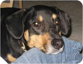 Blue Heeler/Australian Cattle Dog Mix Dog for adoption in Powell, Ohio - Rio