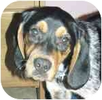 Beagle/Bluetick Coonhound Mix Dog for adoption in Plainfield, Illinois - Jersey