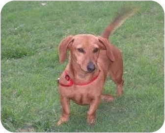 Dachshund Dog for adoption in Garden Grove, California - Chili