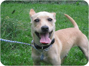 Dachshund/Chihuahua Mix Dog for adoption in Troy, Ohio - Ozzie~Adopted