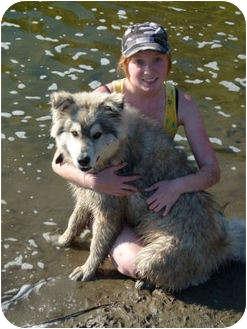 Alaskan Malamute Mix Dog for adoption in Merritt, British Columbia - Chinook
