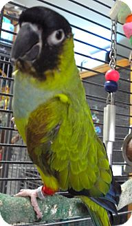 Conure for adoption in Middle Island, New York - Craig