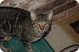 Domestic Shorthair Cat for adoption in Bentonville, Arkansas - Geoffrey