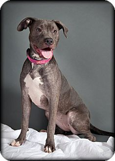 Labrador Retriever/American Pit Bull Terrier Mix Puppy for adoption in San Diego, California - Lucy
