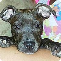 Adopt A Pet :: Ariya - Reisterstown, MD