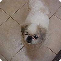 Adopt A Pet :: Poo Bear - Cathedral City, CA