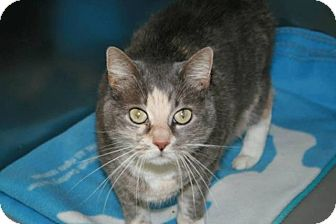 Domestic Shorthair Cat for adoption in Jackson, New Jersey - Sadie