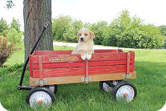 Labrador Retriever Mix Puppy for adoption in New Oxford, Pennsylvania - Wilson