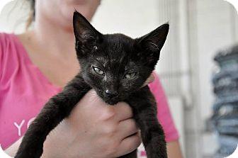 Domestic Shorthair Kitten for adoption in Evans, Georgia - Oliver