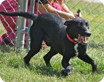 Labrador Retriever Mix Dog for adoption in Jacksonville, Arkansas - Hudson