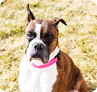 Boxer Dog for adoption in Boise, Idaho - CLEO