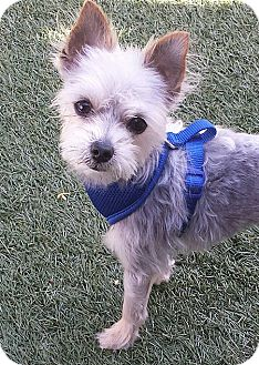 Yorkie, Yorkshire Terrier Dog for adoption in San Diego, California - Smokey