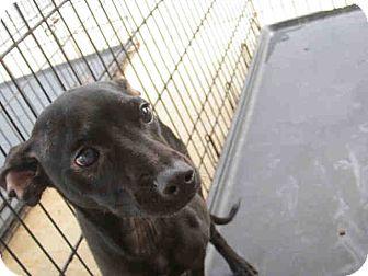 Miniature Pinscher Mix Puppy for adoption in Newnan City, Georgia - Marvin