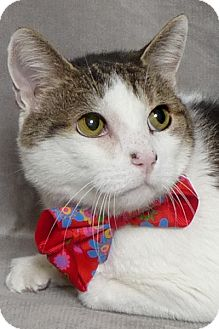 Domestic Shorthair Cat for adoption in Kerrville, Texas - Kelly