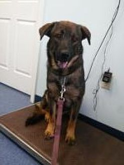 German Shepherd Dog Mix Dog for adoption in Louisville, Kentucky - Bentley