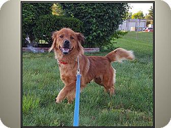 Golden Retriever/Chow Chow Mix Dog for adoption in LaGrange, Kentucky - SABRINA
