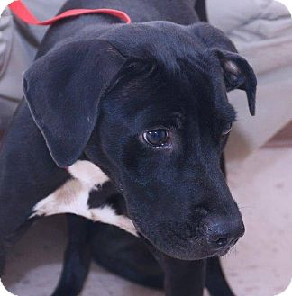 Labrador Retriever Mix Dog for adoption in McDonough, Georgia - Evita