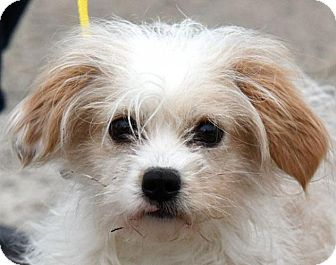 Maltese/Cavalier King Charles Spaniel Mix Dog for adoption in New Haven, Connecticut - MICHAEL
