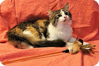 Domestic Longhair Cat for adoption in Greensboro, North Carolina - Serena