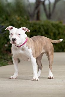 Pit Bull Terrier Dog for adoption in Clayton, California - Stella