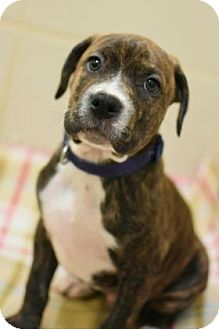 Pit Bull Terrier Mix Puppy for adoption in Aiken, South Carolina - Jack Holden