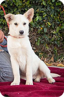 Border Collie/Shepherd (Unknown Type) Mix Puppy for adoption in Los Angeles, California - Rio