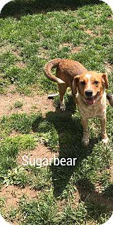 Labrador Retriever/Golden Retriever Mix Dog for adoption in East haven, Connecticut - Sugarbear
