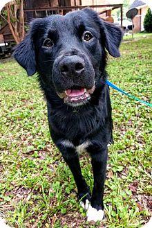 Flat-Coated Retriever/Collie Mix Dog for adoption in Arlington, Virginia - Jackson