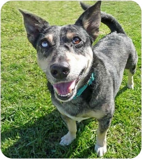 Australian Cattle Dog Mix Dog for adoption in San Clemente, California - LILLY