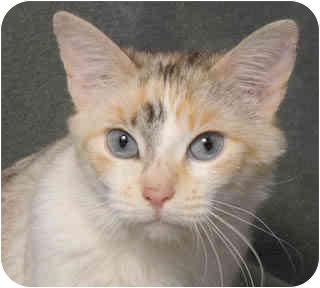 Siamese Cat for adoption in Chicago, Illinois - Shannon