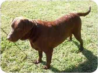 Labrador Retriever Dog for adoption in Rochester, New Hampshire - Taylor  adopted