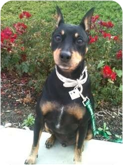 Miniature Pinscher Dog for adoption in Long Beach, California - CODY