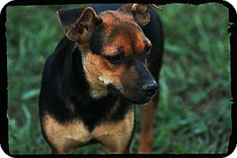 Miniature Pinscher/Terrier (Unknown Type, Small) Mix Dog for adoption in Glastonbury, Connecticut - Roxie