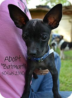 Chihuahua Puppy for adoption in Metairie, Louisiana - Batman
