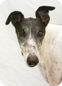 Greyhound Dog for adoption in West Palm Beach, Florida - Runner